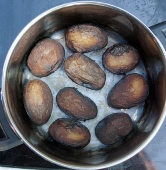 (Figur 1) Tørrkokte poteter antenner ikke. Etter oppkok, har potetene stått på platen med en effekt på 750 W i 05:30 timer.